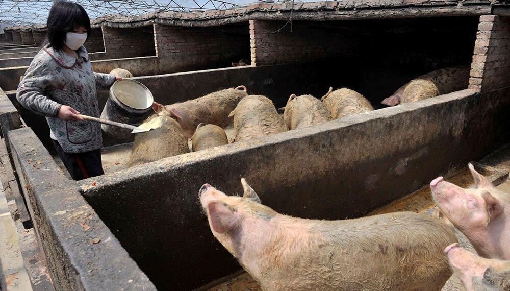 china cerdos porcinos