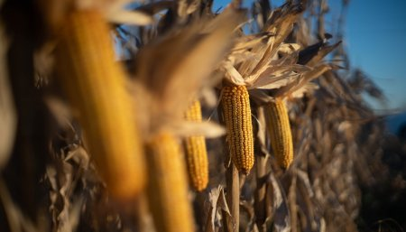 Soja naciendo sobre rastrojo de trigo