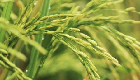 Siembra de maiz