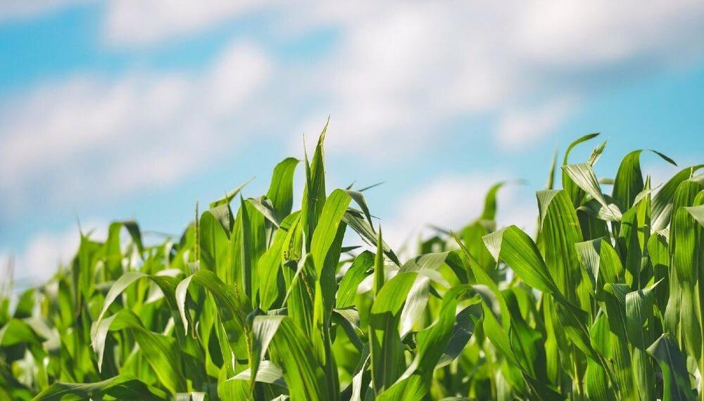 maiz Stoller