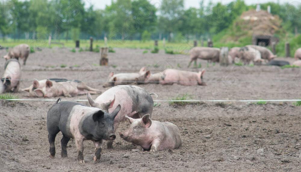 Entraron a robar cerdos