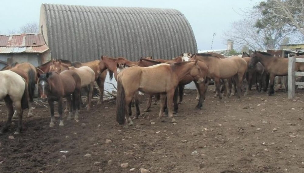 Faena de caballos en Mendoza