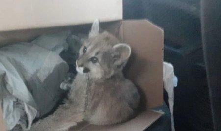Pumita bebe rescatada