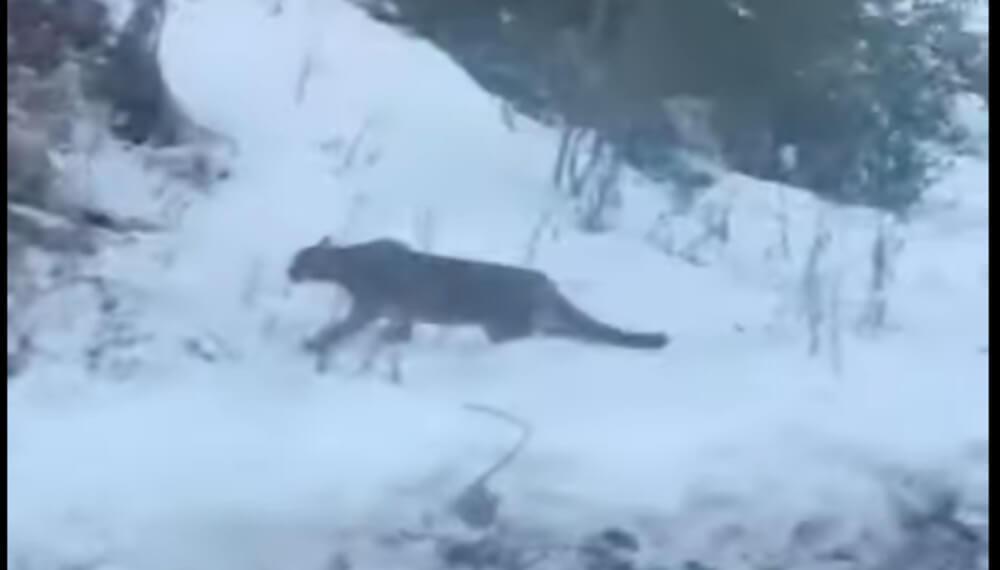 Puma en Villa La Angostura