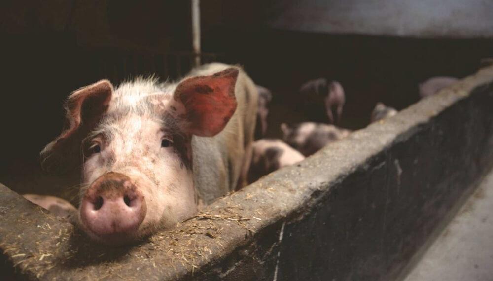 Robaron cerdo