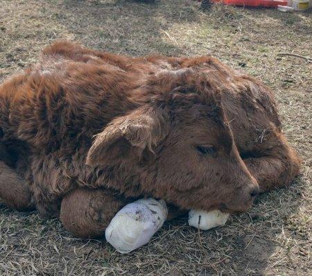 Vaca córdoba