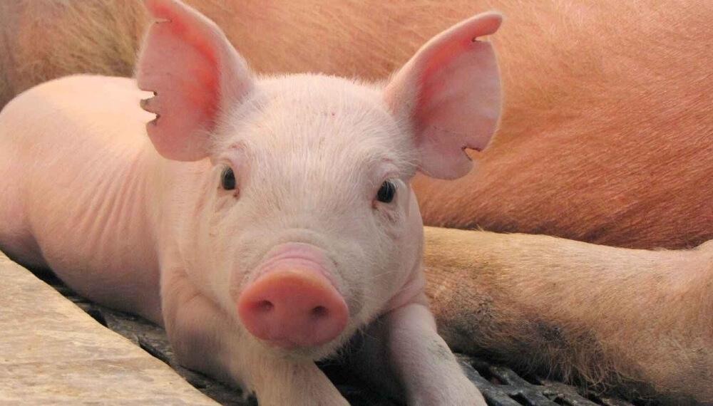 Transplante Cerdo