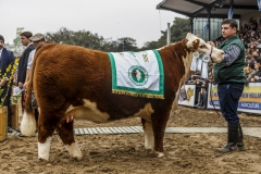 gch-polled-hereford_35806436280_o