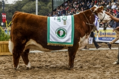 rgch-polled-hereford_36198265685_o